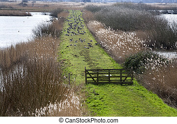 Rural scene with a lot gooses on the grass in Kinderdijk,...