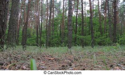 Pine coniferous forest.