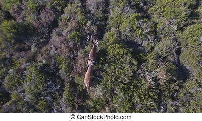 Descending over 2 male deers in the smoothness, aerial view...