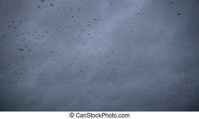 Flock of crows flying in the rainy dark sky