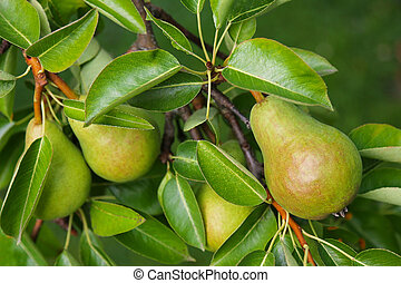 Pear tree with its fruit - Closeup of a Pear tree with its...