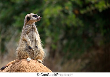 Meerkat - Single meerkat on the watch.  Lots of copy-space.