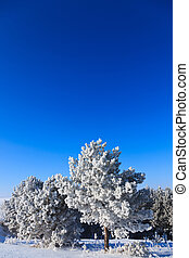 snowy trees on a sunny winter frosty day with ablue sky