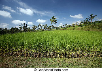 ASIA INDONESIA BALI LANDSCAPE RICEFIELD - a ricefield and...