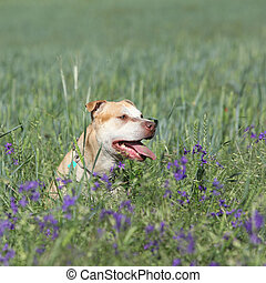 Gorgeous American Pit Bull Terrier in flowers - Gorgeous...