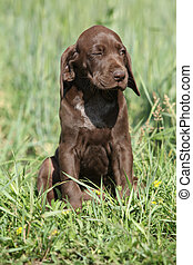 Beautiful puppy od German Shorthaired Pointer in nature