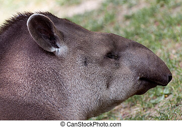 Tapirus terrestris closeup portrait - Tapirus terrestris -...
