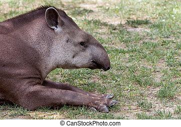 Tapirus terrestris resting - Tapirus terrestris - Tapiro...