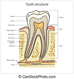 Human tooth structure medical vector - Human tooth structure...