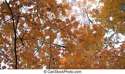 Close-up on beautiful autumn fall leaves blow in a wooded...