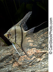 Cichlid fish from genus Pterophyllum in the aquarium