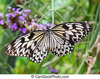 Idea leuconoe butterfly. Paper kite butterfly. - The paper...