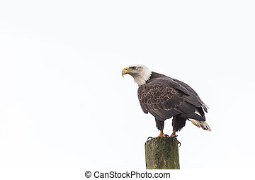 bald eagle - american bald eagle standing on a Power Pole