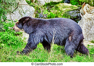 Spectacled Bear in its natural habitat