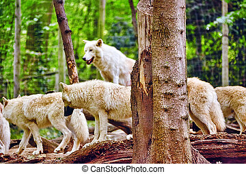 Pack of gray wolves canis lupus in its natural habitat