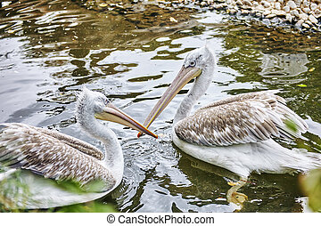 Couple Grey-White Pelican in naturePelecanus erythrohynchos...