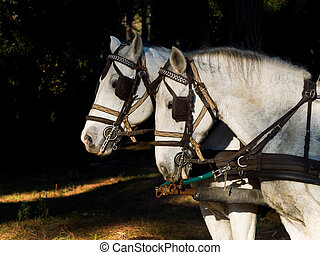 Portrait of two white work horses with harness - Profile...