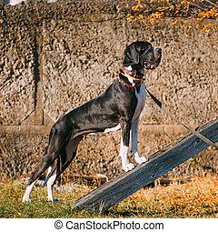 Great Dane Big Dog. Deutsche Dogge, German mastiff.