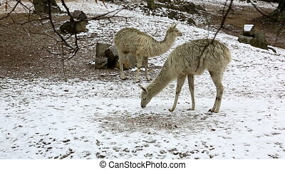 Group of llamas feeding in winter