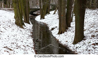 Narrow stream in winter forest - Ducks floating in narrow...