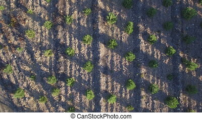 Aerial view of pine tree plantation - Top view of pine tree...