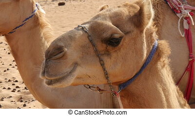 oman camel (dromedary) chewing extreme closeup