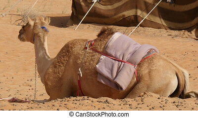 camel (dromedary) lying in desert camp - Saddled camel...