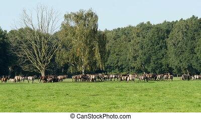 Wild herd of duelmen horses - Wild living herd of duelmen...