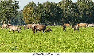 Wild duelmen horses in green