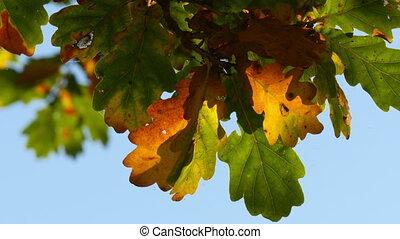 oak tree leaves in indian summer