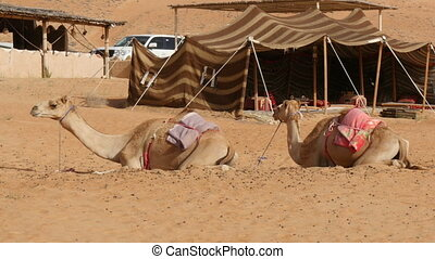 Two camels dromedary lying in desert camp - Two saddled...
