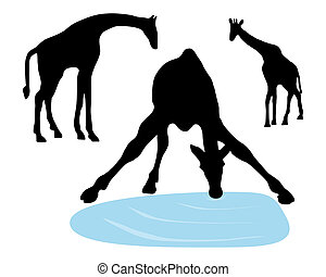 Detailed and isolated illustration of giraffes drinking