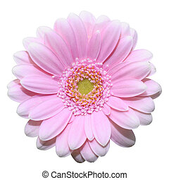 Pink daisy flower isolated on white background - Close up of...