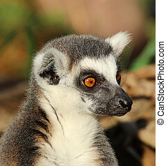 Ring-Tailed Lemur - Close up of a Ring-Tailed Lemur