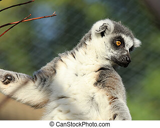 Ring-Tailed Lemur - Portrait of a Ring-Tailed Lemur