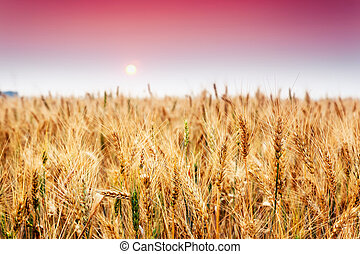 wheat - Fantastic wheat field at the sunset. Colorful sky....