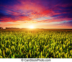 field - Fantastic wheat field at the sunset. Colorful...