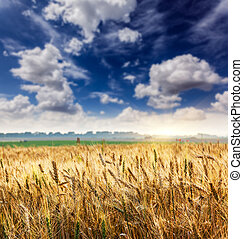 wheat - Field on a background of the white fluffy clouds....