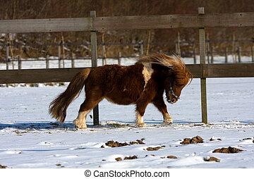 shetland pony - shetlandpony running in snow