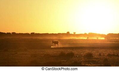 Africa Sunset Impala - Impala Aepyceros melampus walking...