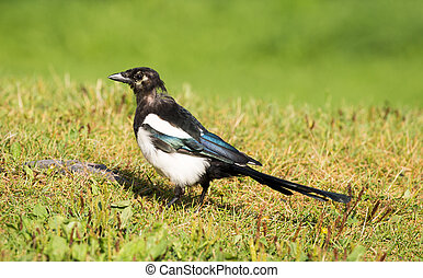 European Magpie (pica pica) - Black-billed Magpie standing...