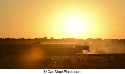 Africa Sunset Zebra - Zebra (Burchell's Zebra Equus quagga...