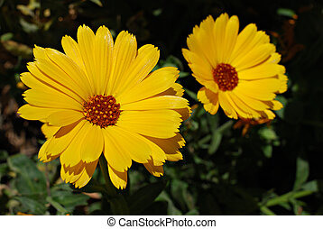 Yellow Marigolds - Two yellow Marigolds growing in the...