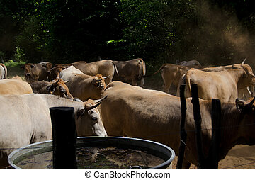 cattle breeding - Aubrac french cattle herding in natural...