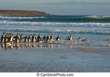 rey, Pingüinos, en, el, oleaje,
