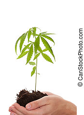 Cannabis business. - Caucasian handsome man holding young...