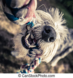 Dog Playing With Rope - Closeup Of Teeth And Nose Of An Old...