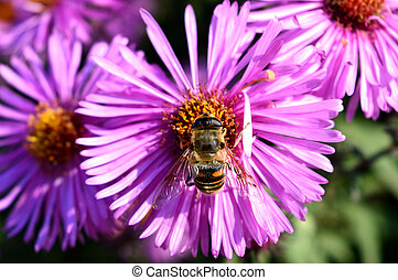 bee collects honey on a purple aster