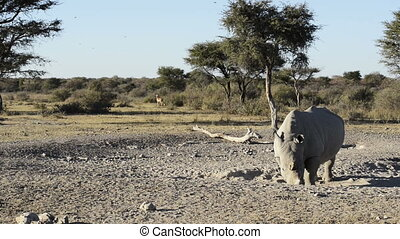 White Rhino On Safari - African White Rhinoceros or...