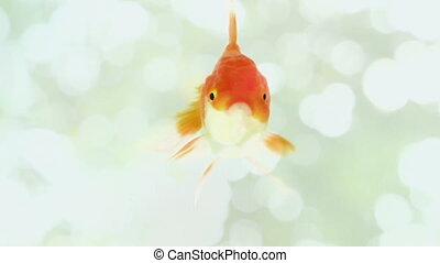 gold fish on blurry background - gold fish on blurry white...